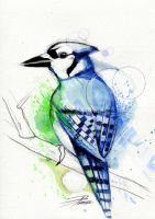 Blue Jay by davepinsker