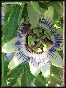 Passiflora by Gogha
