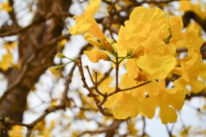 The Yellow Tree Flowers by imhsps