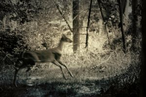 Deer Crossing by S-H-Photography