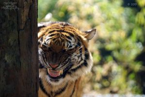 Malayan Tiger 13 by HarbingerPhotography