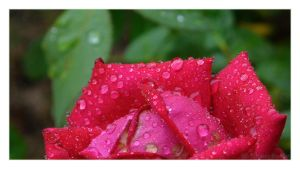 Water Droplets on a Rose 02 by phantompanther