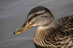 Duck's Head 2 by LydiardWildlife