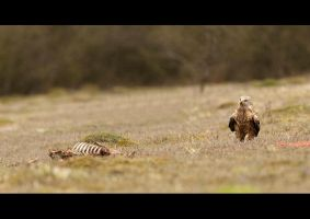 Red Kite with Muntjac Carcass by q-118