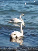 Swans by XThrill