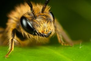 Miner Bee on Ivy 2 by Alliec