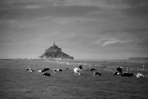 the cows of mont st michel by alahay
