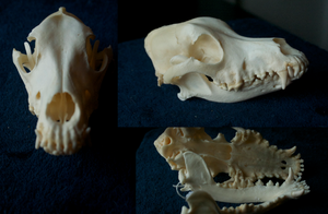 Curly Coated Retriever for sale by Myskullcabinet