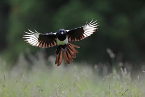 As it seams you like magpie pictures :) by phalalcrocorax