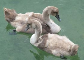The Two Cygnets by doctorbanana
