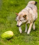 Wolves and Watermelons by Houndofthenight
