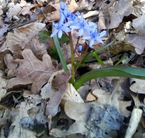 Two-leaf squill by DenyG