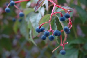 blue frost berries in fall 2 by treehugginhippie