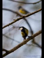 Great Tit by GMCPhotographics