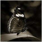 Butterfly V by GreenEyedHarpy