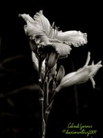 BW Lily 2 by fotophi