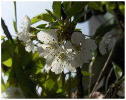 White Cherry Blossoms by DJCandiDout