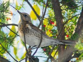 Thrush by starykocur