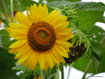 Sunflower ragged by Mogrianne