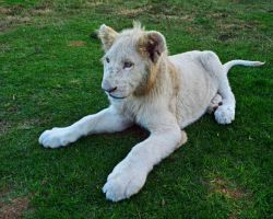 White Lion Cub by FireFlyExposed