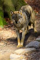 Grey Wolf 7832 by WhiteSpiritWolf