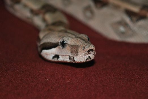 Azula, the red tail boa by Courtuhkneekay