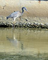 Blue Heron - Fish 01 by Lauren-Lee