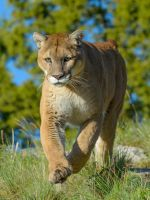 Mountain Lion VI by White-Voodoo