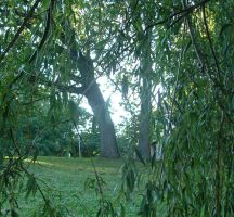 View of a willow by greenacoustic