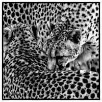 Cheetah Abstract by clippercarrillo