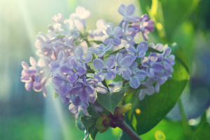.:Lilac against the morning sun:. by bogdanici