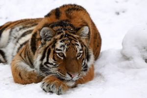Snow Tiger by AF--Photography