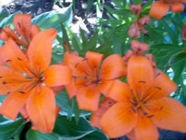 Orange Lilies by pandora1921
