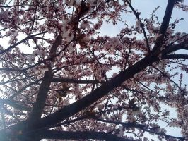 Cherrytree Flowers 2 by Table-Sama