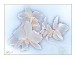 White Orchid by Lajos-Toth