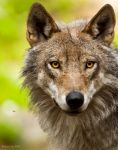 Wolf by PictureByPali
