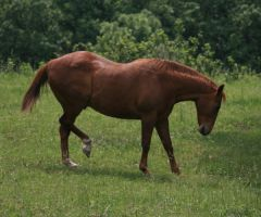 Quarter Horse 2 .:Stock:. by Photopolis