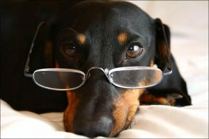 dachshund, intellectual by snoopa