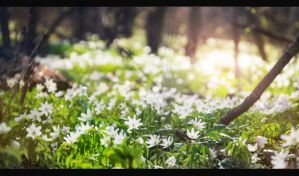 Snowdrops by ArchiDimmon