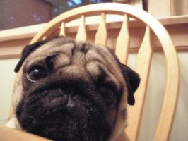 Pugsley by puggers
