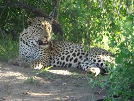 South African Leopard Laying Down by createeverywhere