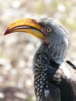 yellow billed hornbill by wildroseblossom