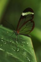 glasbutterfly by marob0501
