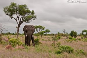Elephant Plains by MorkelErasmus