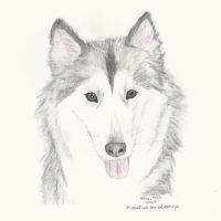 Siberian Husky by PizzaFisch
