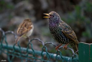 Starling by KrisSimon