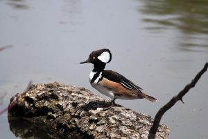 Hooded Merganser by sgt-slaughter