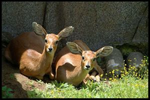Southern Steenboks by Death-Soldier101