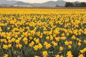 repetition: daffodil fields by destinydai