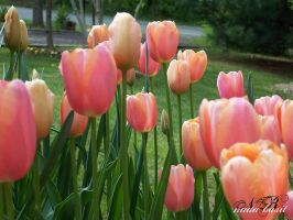 Tip Toe Through The Tulips by Silver-Dew-Drop